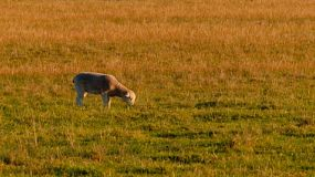 A young lamb grazing on grass in a field, lit by the golden light of sunset.