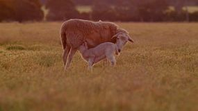 A wiltipoll ewe finds her baby lamb, and it suckles her milk, bathed in the golden light of sunset.