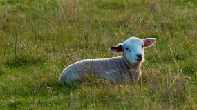 A cute white lamb lying down in a grassy paddock on an Australian farm, briefly turns to look at the camera.