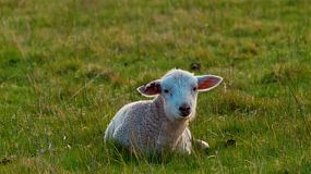 A cute white lamb lying in a grassy paddock on an Australian farm, turns to look at the camera.