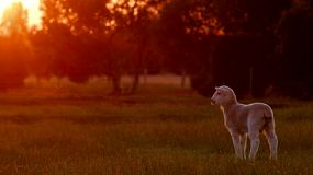 A cute young lamb basking in golden sunset light, while looking around a field.