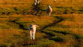A young lamb walking in a field towards a ewe, lit by the golden light of sunset.