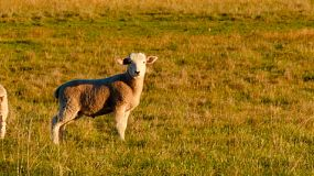 Young lambs in a field on an Australian farm, basking in the golden light of sunset.