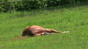 A Lazy Horse Taking A Nap In A Field Of Green Grass. (HD 1080p30)