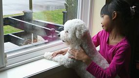 A cute little 8 year old girl spends time with her fluffy white Bichon Frise puppy looking out the window on a rainy day.