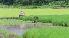 A lonely Thai rice farmer working the field in the northern province of Chiang Rai, Thailand.