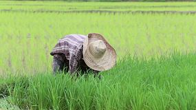 A lonely Thai rice farmer works the field in Chiang Rai, Thailand.