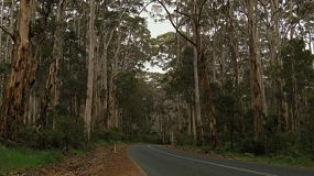 Looking down a road going through the middle of jarrah trees in the Boranup Forest in South Western Australia.