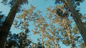Looking up at tall Karri trees in the Gloucester National Park near Pemberton, Western Australia.