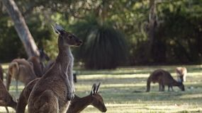 Kangaroo Stock Footage