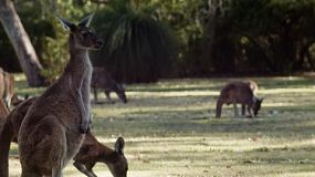Mob of wild kangaroos relaxing and grazing.