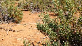 Native Australian plants growing in a patch of bush on harsh, dry, gravelly ground.