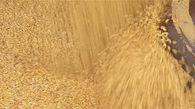 Close up of oat grains going into an auger on an Australian farm.