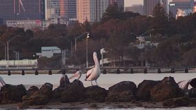 Pelicans perched on rocks in the Swan River, with the Perth skyline partially seen in the background.