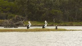 Pelicans on a small island on the moore river, near Guilderton, Western Australia, shot from a canoe.