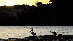 Pelicans waking up on a small island on the Moore River, near Guilderton, Western Australia, with the sun setting in the background.