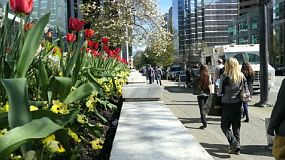 Businessmen, businesswomen, tourists and people from all walks of life enjoy strolling past spring tulips in gorgeous downtown Vancouver in March.