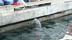 People enjoy spending time feeding the adorably cute sea lions in the ocean in Victoria, BC.