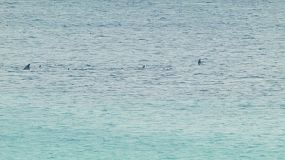 A pod of dolphins swimming by, in the ocean near Esperance, Western Australia.