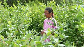A cute Asian teenage girl enjoys picking blueberries during the summer.
