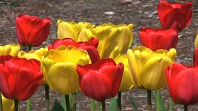 Pretty Red & Yellow Tulips In Spring (HD 1080p30)