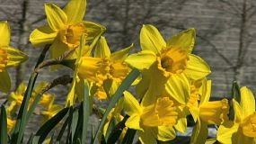 Pretty Yellow Daffodils Blowing In The Gentle Breeze (HD 1080p30)