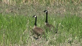Proud Geese Parents Guarding A Baby Goose. (HD 1080p30)