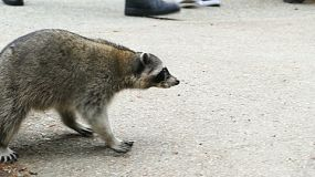 A racoon is scared back into the forest by a group of tourists.