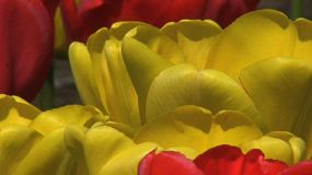 Red & Yellow Tulips Extreme Close Up (HD 1080p30)