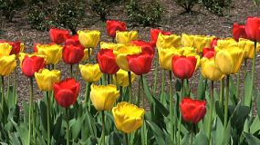 Pretty Red And Yellow Tulips In Spring (HD 1080p30)