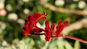 Close up of a Red Kangaroo Paw flower (Anigozanthos Rufus) in the King's Park Botanical Garden, Perth, Western Australia.