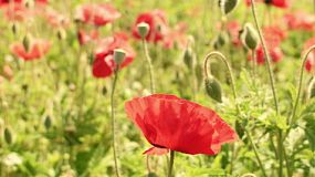 Red poppy flowers growing in a garden.