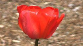 A close up of a pretty red tulip in spring. (HD 1080p30)