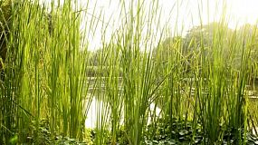 Reeds in a lush tropical swamp area in Thailand.
