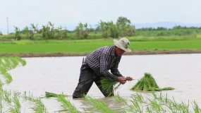 A rice farmer working in a wet rice paddy in the northern province of Chiang Rai, Thailand.