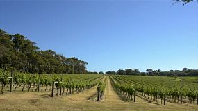 Rows of grapevines on a hill, in a winery in south west western australia, between margaret river and dunsborough.