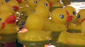 Rubber Duckies Floating On The Water Close Up (HD 1080p30).