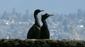 A Pair Of Cormorants Basking In The Sun In The Harbor (HD 1080p30).