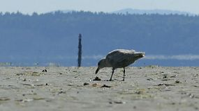 A hungry seagull enjoys eating a tasty clam during low tide near the ocean.