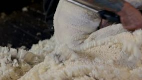 Close-up of a shearer shearing the wool off a merino sheep in the shearing shed on an Australian farm.
