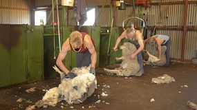 Group of shearers shearing merino sheep in the shearing shed of an Australian farm.