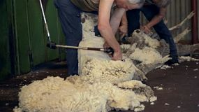 Shearers shearing the wool off merino sheep in the shearing shed of an Australian farm.