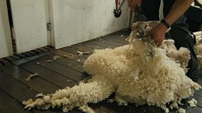 Tracking shot of a shearer shearing a merino sheep.