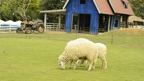 Two sheep grazing on green grass, with a barn and old tractor in the background.