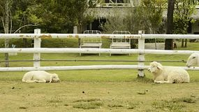 A sheep and a lamb resting by a fence, ans more sheep run across the camera and jump the fence.