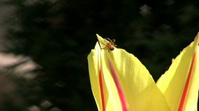 A curious spider explores a pretty yellow flower in springtime. (HD 1080p30)