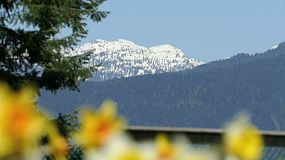 A pull shot of snow capped mountains to beautiful spring Daffodils in Vancouver, BC.