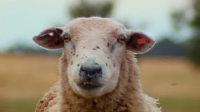 Close up of an odd looking sheep staring at the camera.