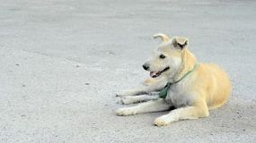 Stray dog lying on the road in the grounds of a buddhist temple, in Bangkok, Thailand.