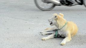 Stray dog in the grounds of a buddhist temple, with a motorcycle passing, in Bangkok, Thailand.